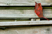 Fallen Cherry Leaf on Fence Panels