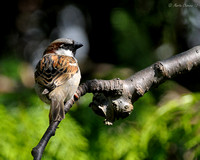 Male House Sparrow On Branch