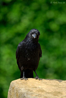 Raven Standing on Rock
