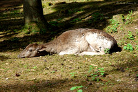 Deer Sleeping