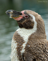 Moulting Humboldt Penguin