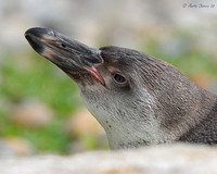 Young Humboldt Penguin Resting