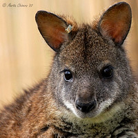 Portrait of a Parma Wallaby