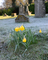 Frost on Daffodils