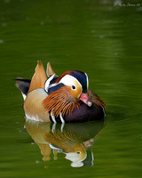 Male Mandarin Duck and Reflection