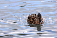 Hen Mallard and Water Droplet