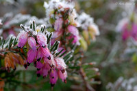Frost on Heather