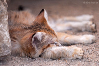 Sleeping Sand Cat