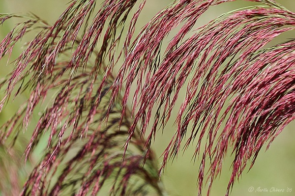 Red Grasses