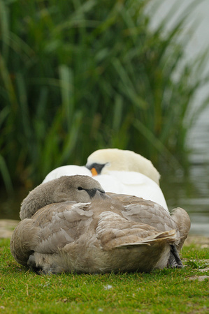 Sleeping Mute Swan and Cygnet