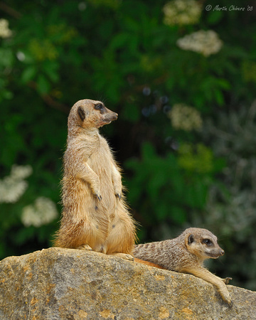 Meerkats on Rock