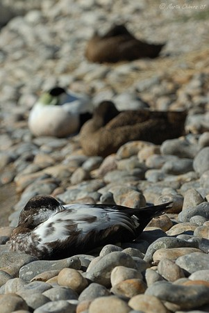 Sleeping European Eider Ducks