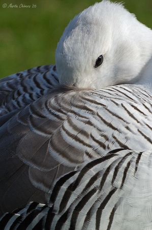 Sleeping Greater Magellan Goose