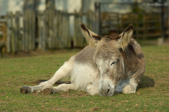Sleeping Donkey