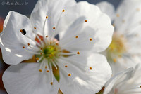 Cherry Blossom and Beetle